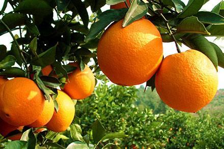 紐荷爾臍橙